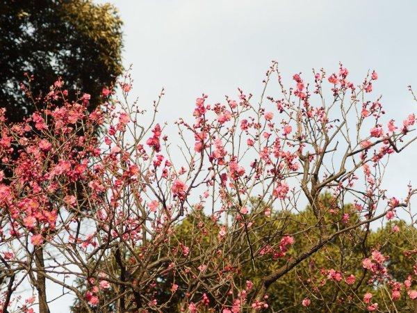 Koishikawa_Korakuen_Garden_Plum_Blossoms_Japan