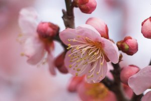 Pink_Ume_in_Japan
