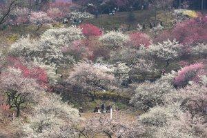 Plum_Blossoms_Yoshino_Baigo_Ome_Tokyo