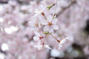 Sakura_at_Rikugien_Park_in_Tokyo