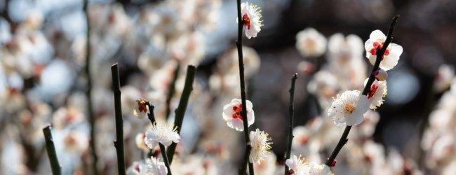 Plum (Ume) Blossom in Japan | Ume Matsuri 2017