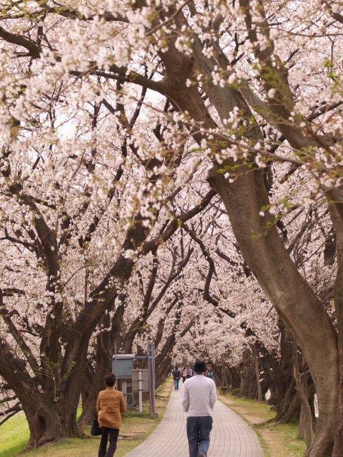 Beautiful_Sakura_Kyoto