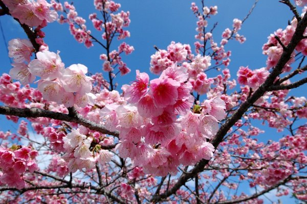Pink_Cherry_Blossoms_in_Okinawa_Japan
