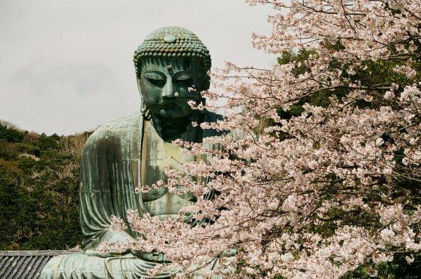 Sakura_in_Kamakura_Japan