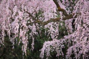 kyoto_imperial_palace_sakura