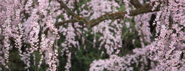10 Best Cherry Blossom Viewing (Hanami) Spots in Kyoto