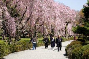 nijo_castle_cherry_blossoms_kyoto