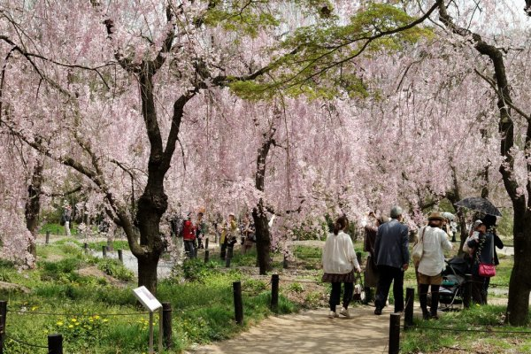 weeping_cherry_blossoms_in_kyoto_botanical_garden