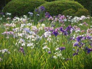 horikiri_iris_garden_japan