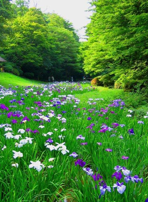 meji_jingu_shrine_iris_garden_japan