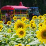hokuryu_cho_sunflower_village