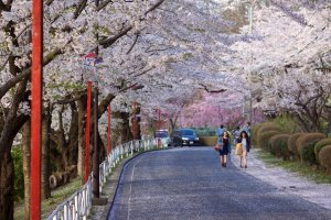cherry_blossom_in_iwate