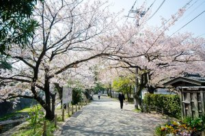 japan_cherry_blossoms