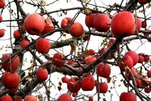 aomori_apples_tohoku_japan