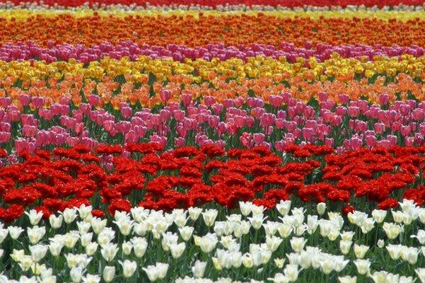 colorful_tulips_field_kamiyubetsu_tulip_park