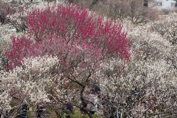 white_red_and_pink_ume_blossoms_at_atami_baien
