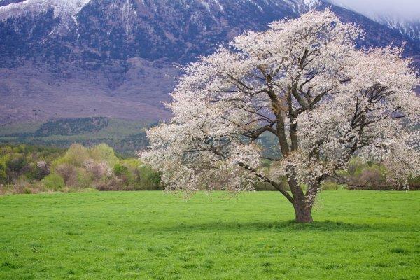 cherry_blossom_in_iwate_tohoku