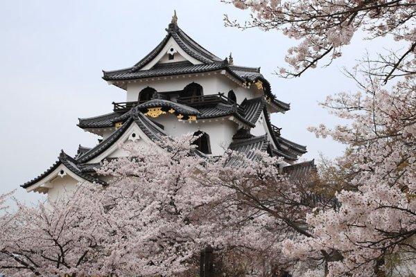 hikone_castle_cherry_blossom_japan