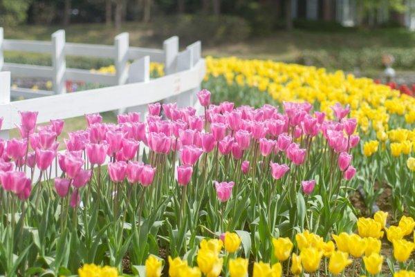 huis_ten_bosch_tulips_in_nagasaki