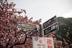 kawazu_cherry_blossoms