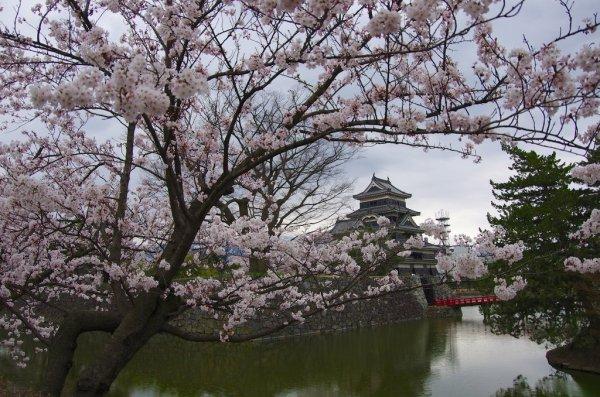 matsumoto_castle_cherry_blossom_japan