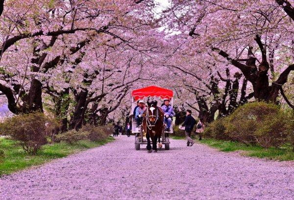 sakura_and_horse_driven_carriage_kitakami_iwate