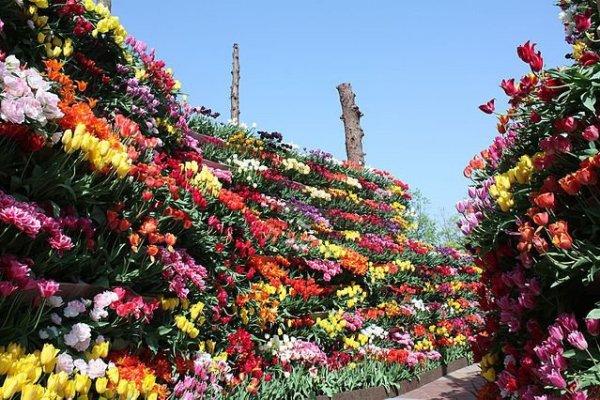 tonami_tulip_fair_toyama_japan