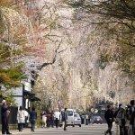 Kakunodate Cherry Blossom Festival 2017