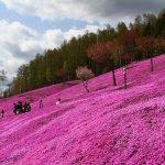 shibazakura_at_takinoue_park