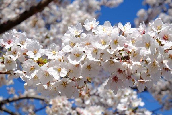 yoshino_cherry_blossoms_japan