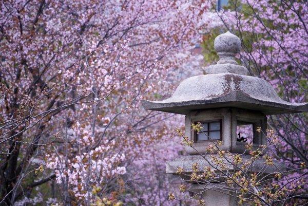 cherry_blossoms_in_sapporo_hokkaido