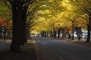hokkaido_university_ginkgo_avenue
