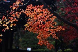 autumn_leaves_in_nara
