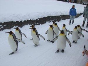 penguins_parade_asahiyama_zoo_asahikawa