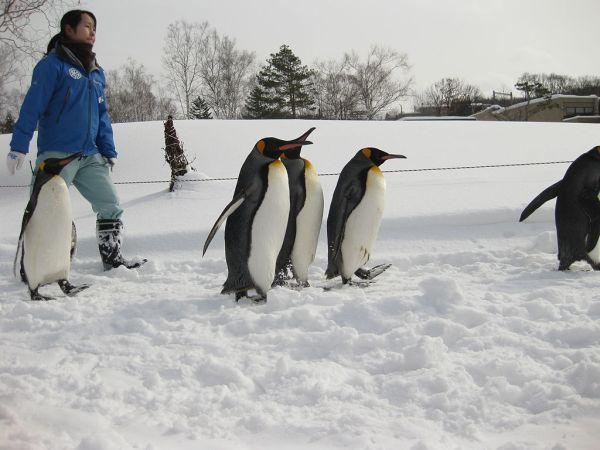 walking_penguins_in_asahiyama_zoo