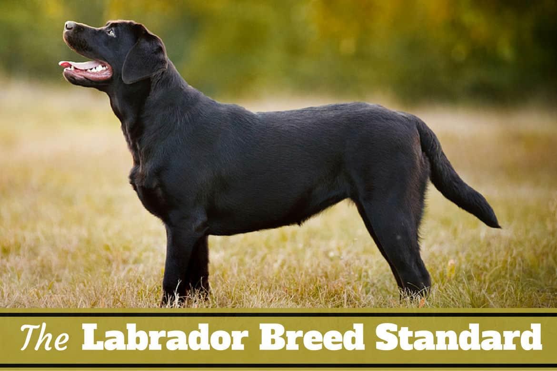 Labrador Breed Standard What Makes A Labrador Retriever