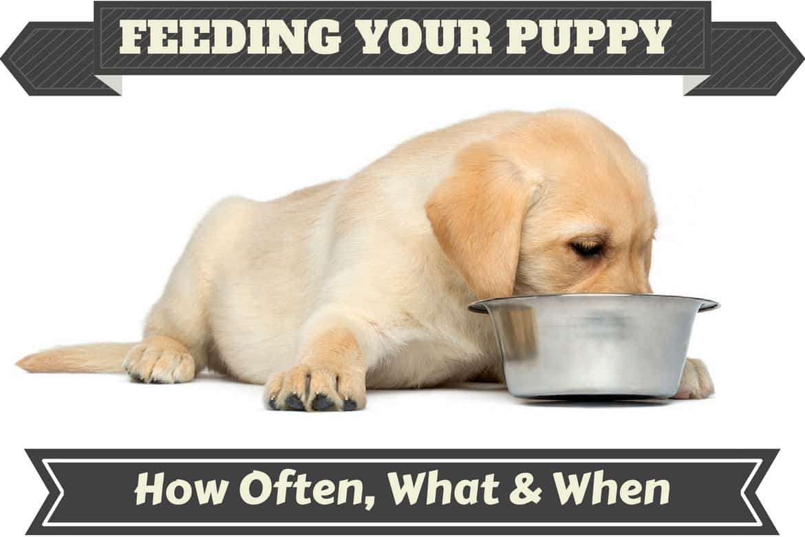 Hilarious A Labrador Puppy Feeding From A Metal Bowl How Much To Feed A Lab Labrador Food Chart Feeding Dog Not Drinking Water After Walk Dog Not Drinking Water Or Pooping bark post Dog Not Drinking Water