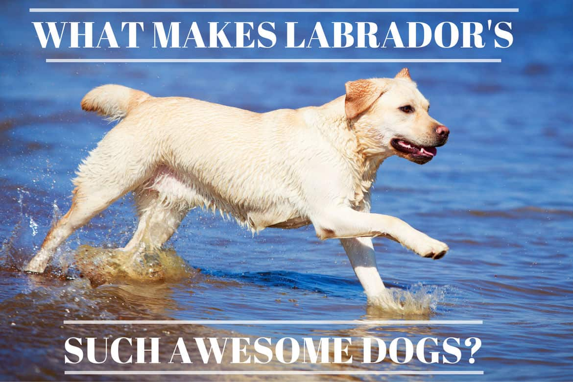 Distinguished Yellow Lab Splashing Through Vibrant Blue Water Are Labs Good Reasons Why Labradors Are Such My Dog Can T Catch Food Dog Can T Catch Food Instagram bark post Dog Cant Catch Food