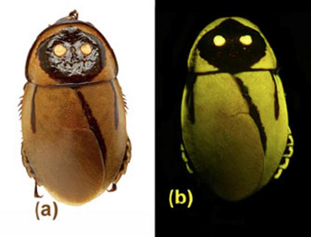Insecto descubierto extinguido casi vez