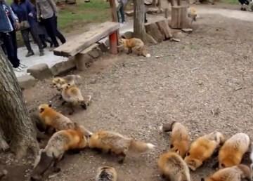 Zao Fox Village, la ciudad japonesa de los zorros