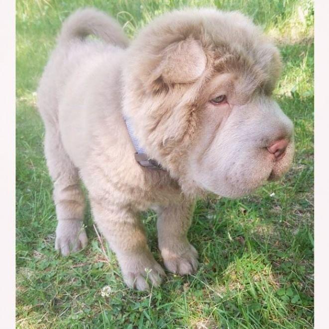 Tonkey, il cucciolo di Shar Pei che ha 100mila follower su Instagram FOTO11