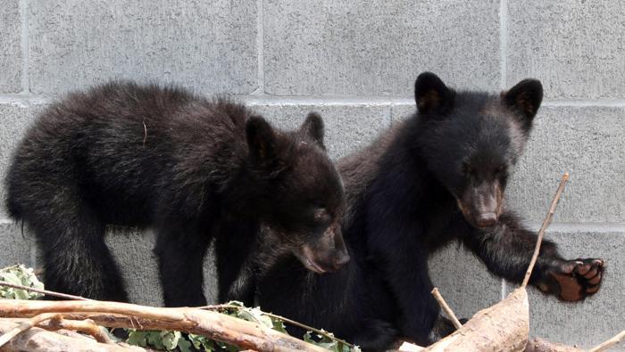 Canada, Guardia forestale non uccide i due orsetti: sospesa e senza paga FOTO3