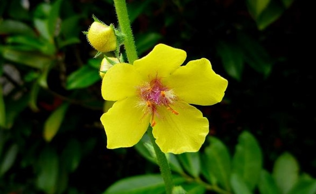 how to make mullein oil