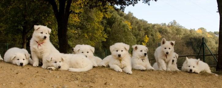 Cachorros de Cresta y Fusta