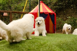 Cachorros de casa con 6 semanas.
