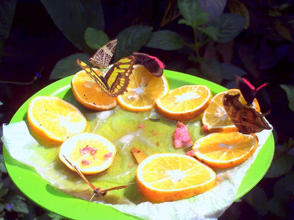 1024px-Mariposas_comiendo