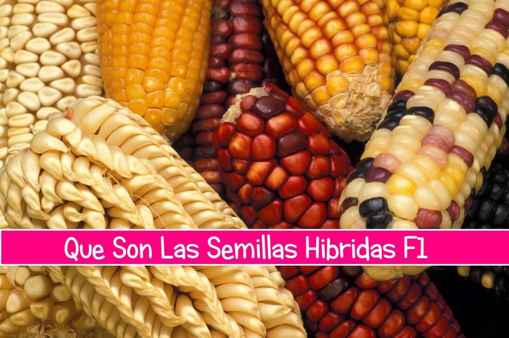 semillas hibridas