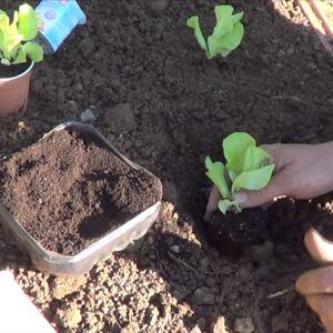 Como Plantar Lechugas En El Huerto