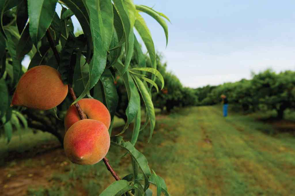 Sunbright peaches almost ready to be picked at McPeak Farms. Picking season begins in at the end of May until August. JCI PHOTO- Brian McCord