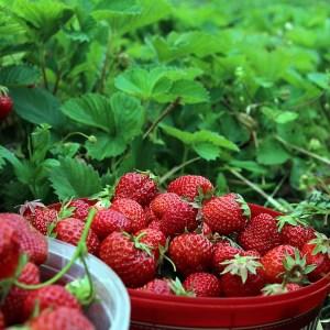 Guia Completa Del Cultivo De Las Fresas